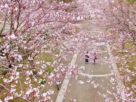 Cherry blossom tree-lined promenade