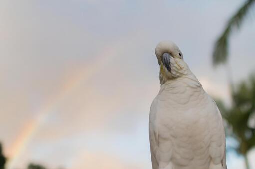 澳大利亞野鳥基巴坦英文名Cockatoo Rainbow,橙色天空,雲彩和棕櫚樹夏天晚上雨後