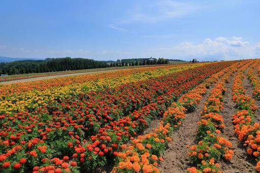 Flower Land Kamifurano's curved flower field