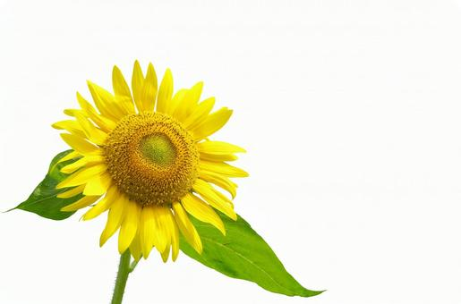 Sunflower (white background)