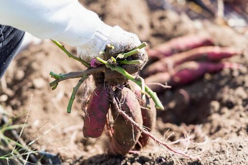 고구마를 수확하는 모습