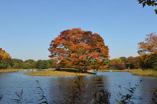 Autumn leaves tree in Showa Kinen Park