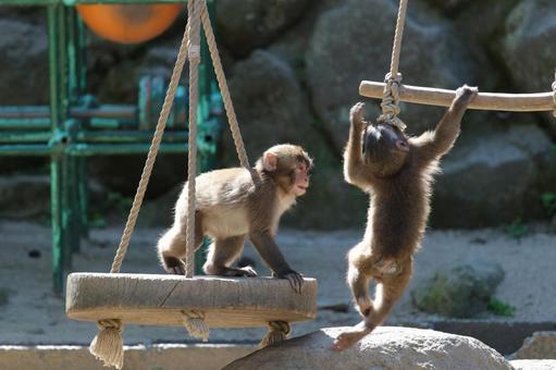 Japanese macaque (child monkey)