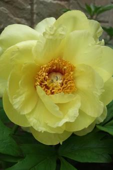 黄牡丹花2