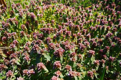 Red deadnettle flower field