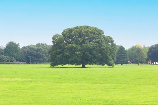 Zelkova tree 1