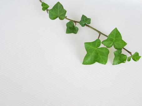 Ivy leaves and white background 6