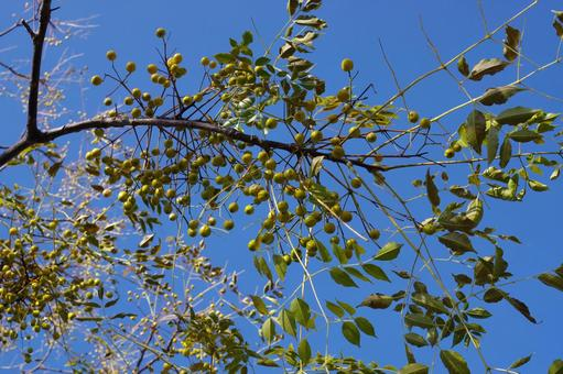 멀 구슬 나무와 열매