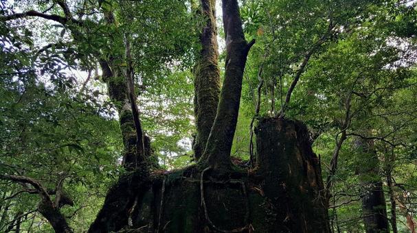 Power spot of Yakushima Island Princess Mononoke Forest