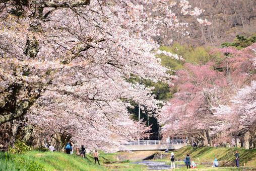 Cherry blossoms in full bloom 2