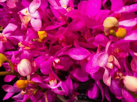 Mokara, orchid, orchid