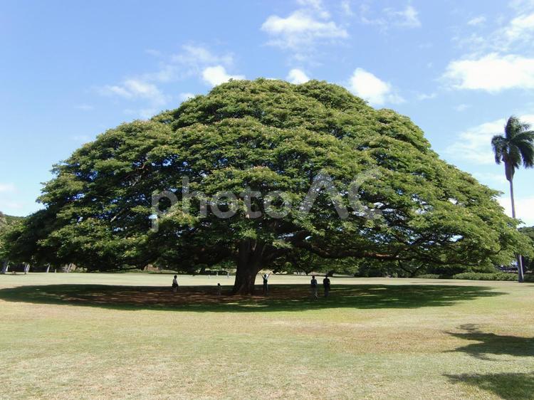 ハワイの木の写真