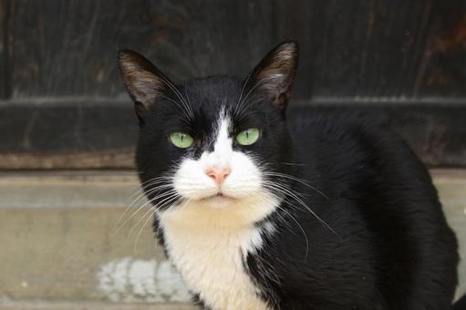 流浪貓黑色和白色的綠色的眼睛