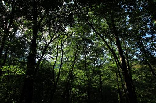 Forest in the Shirakami Mountains