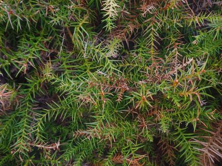 삼나무 잎