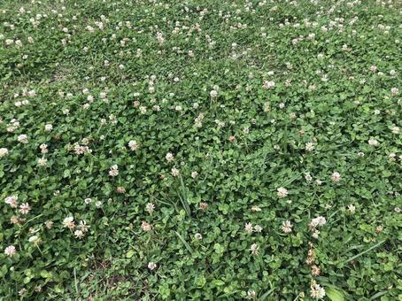 White clover 4