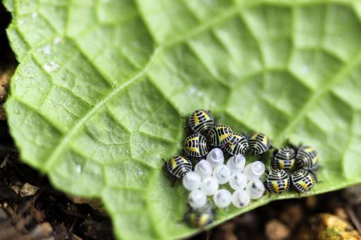 Larvae of brown marmorated stink bugs that have emerged from eggs