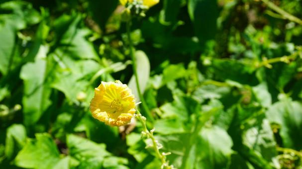 Loofah and loofah flowers