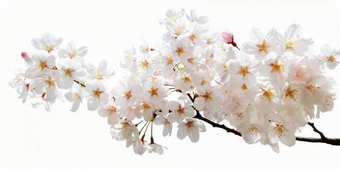 Cherry blossoms cut in full bloom