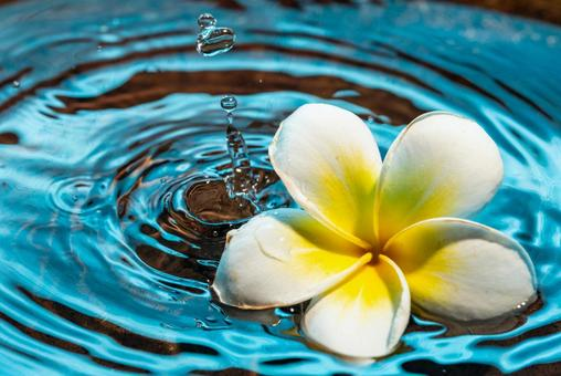 Plumeria floating on the water