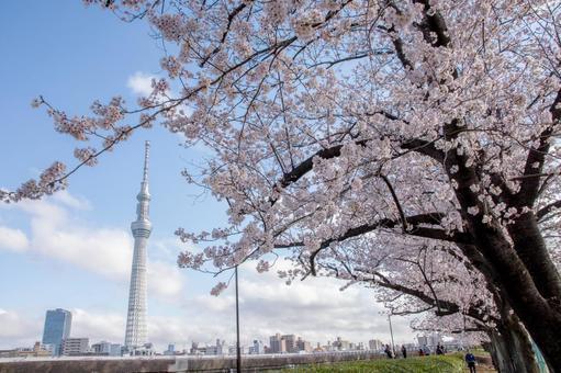 Yoshino cherry tree and sky tree 5