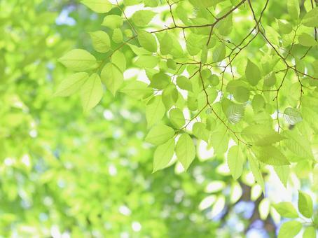新緑の葉っぱ ケヤキの若葉 欅