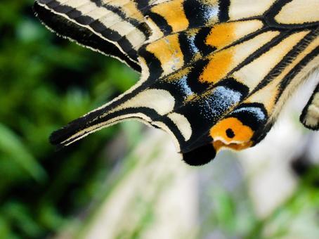 호랑 나비의 날개