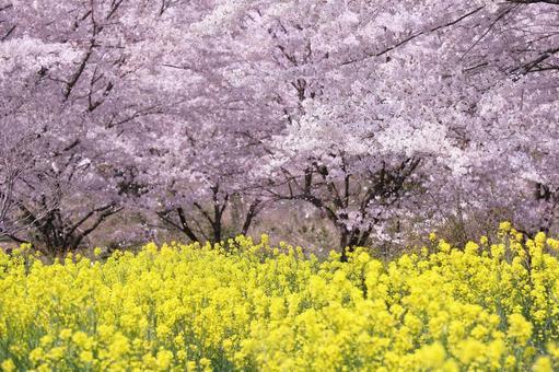 Spring landscape of Japan Sakura Rape flower