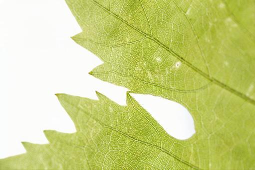 녹색 잎 の 에센 (잎) 3