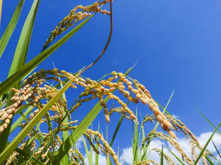 An image of autumn when rice plants shake