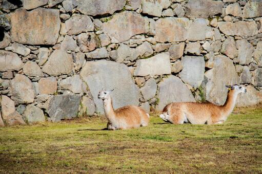 마추피추 벽 너머로 휴식 알파카