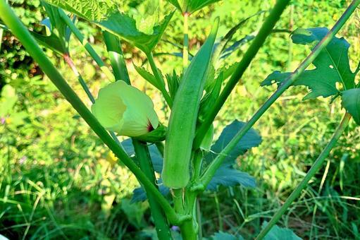 秋葵花和果實
