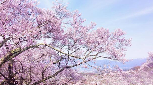 春爛漫 満開の桜テクスチャ 0720