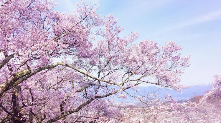 春爛漫 満開の桜テクスチャ 0720の写真