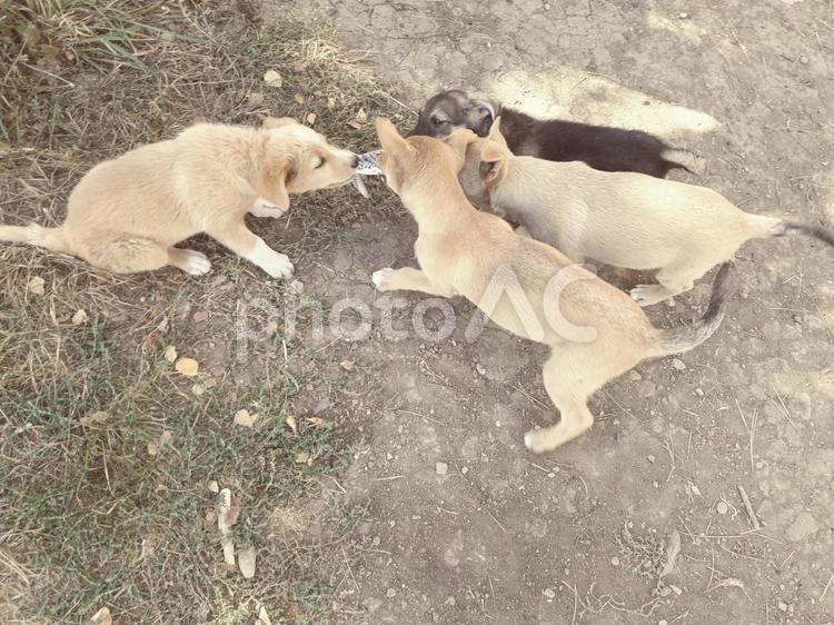子犬たちの遊びの写真