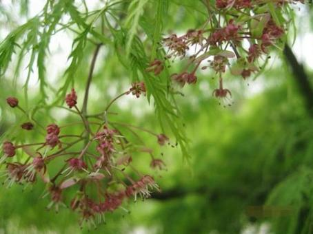 Maple flowers and fruits (seed)