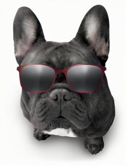 French bulldog psd cutout