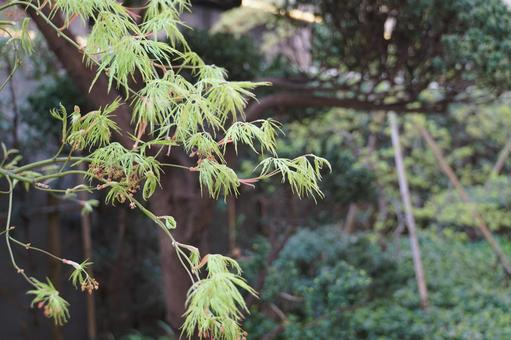 Weeping maple