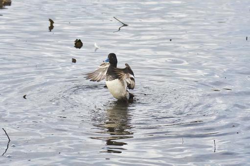 스즈가모 수컷이 날개를 펼치는 모습 버나비 브리티시 컬럼비아 캐나다