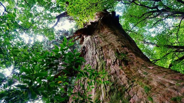 야쿠시마에서 본 큰 삼나무