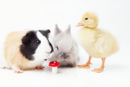 兔子和鸭子和豚鼠6