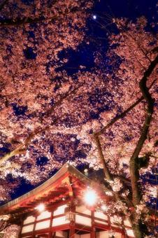 달밤 벚꽃