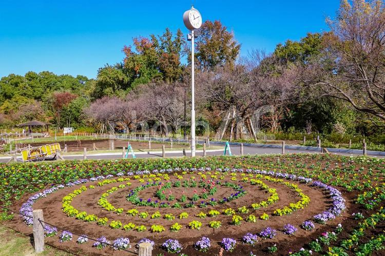 円形花壇に咲くパンジー 蘆花恒春園の花壇の写真