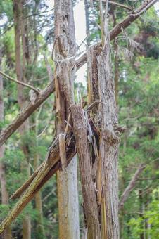 へし折ら 된 삼나무 1