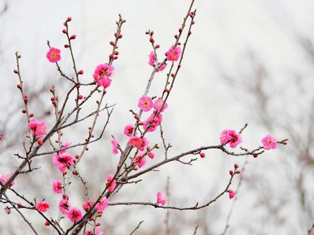 매화의 꽃 11 핑크
