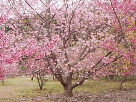 Scarlet cherry blossoms