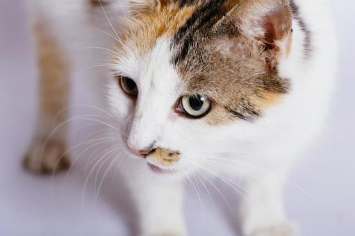 Hachiwalle's cat 3