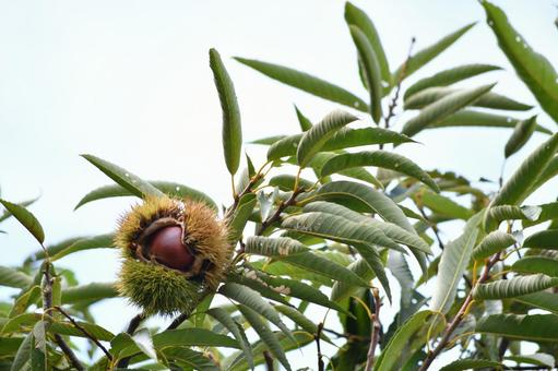 Chestnut 01