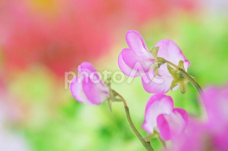 春の花-14の写真