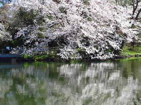 Moat and cherry tree 7